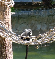 dhh bi (dmathew1) Tags: tampa florida lowryparkzoo babywhitetiger babymandrill babyorangatun babycolobusmonkey babyguenon