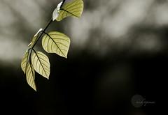 .Morning.light. (.krish.Tipirneni.) Tags: morning light india green leaves morninglight leaf nikon glow dof bokeh ap glowing hyderabad hpc hyd kbr andhrapradesh 18200vr d80 kbrpark