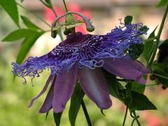 (Tölgyesi Kata) Tags: botanikuskert botanicalgarden füvészkert budapest withcanonpowershota620 passiflora golgotavirág passionflower passionvine fleur virág