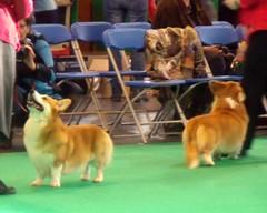 Pembroke Welsh Corgi (Dog.Show_Photos) Tags: show dog pet pembroke corgi canine welsh crufts pastoralgroup