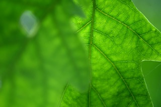 Sunlight through Oak Tree Leaves