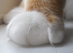 Dora's Paw (Abbey - Bleeding Heart) Tags: orange cats white cute abbey by cat photography kitten heart sweet tabby adorable kitty kittens e kitties bleeding ae petite erickson aerickson abbeysayshi