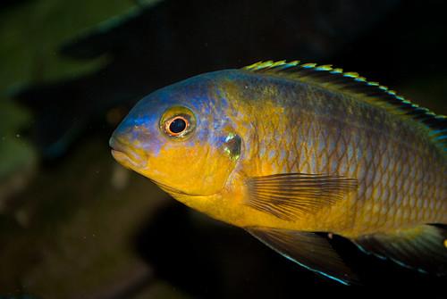 Tropheops tropheops Makokola Reef