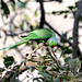 Rose-ringed Parakeet (Peter Johnson)