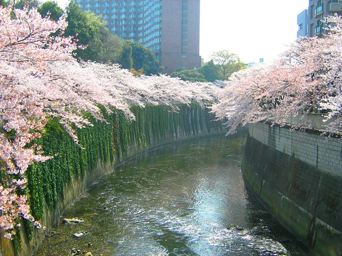 Cherry Blossoms over Kanta River