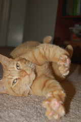 Stretchy Fuzz! (theartofmegan) Tags: cute cat fur kitty dizzy fuzz diz theartofmegan