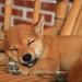 柴犬:小米IMG_7353