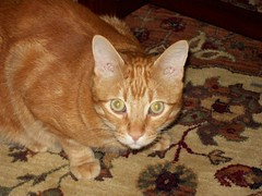 Angel (Catherine Soehner) Tags: orange angel cat ginger kitty