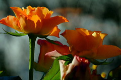 ancora rose ... (guendaeio (orasoloio)) Tags: roses orange flower macro nature rose rebel natura fiori arancio maquillage ritocco goldstaraward
