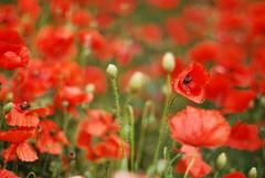 una classica foto da flickr :-P (* RICCIO) Tags: flowers red naturaleza flores verde green nature fleurs rouge rojo natura vert poppies fiori rosso bari papaveri amapolas quartiere stanic rione quartierestanic