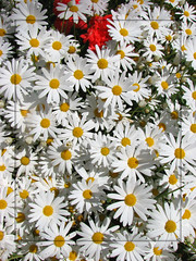Give me your answer, do (Dally) Tags: daisies oldsong mywinners findthegeranium