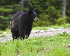 Black Bear yearling (SDart) Tags: bear whistler bc blackbear