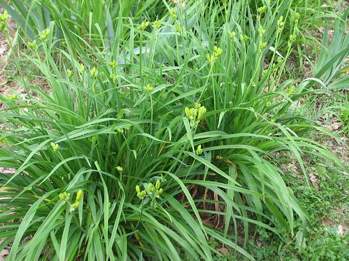 daylilies are budding!