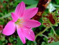 Rosinha (Pedro Cavalcante) Tags: fleur flora finepix blomma bunga  blume fiore blomst soe bulaklak hoa ua flore bloem lill  iek  kwiat blodyn  lule blom  cvijet  cvet   gl kvtina kvetina  s6500 pue  s6500fd floarea  mywinners abigfave fjura  blthanna finepixs6500 goldstaraward pedrocavalcante kukkien virga