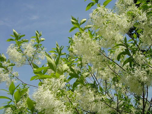 Beautiful Flowering Tree by summerbloomz etc =^.^=