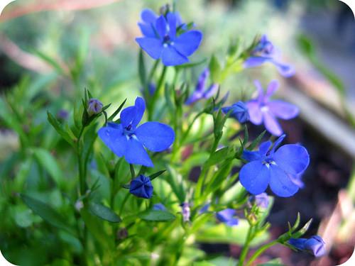 blaues Blümchen x