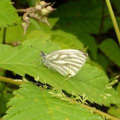Green-veined White Rapweissling (Aah-Yeah) Tags: wood butterfly bayern falter wald traunstein schmetterling achental aporia crataegi rapsweissling tagfalter marquartstein piesenhausen