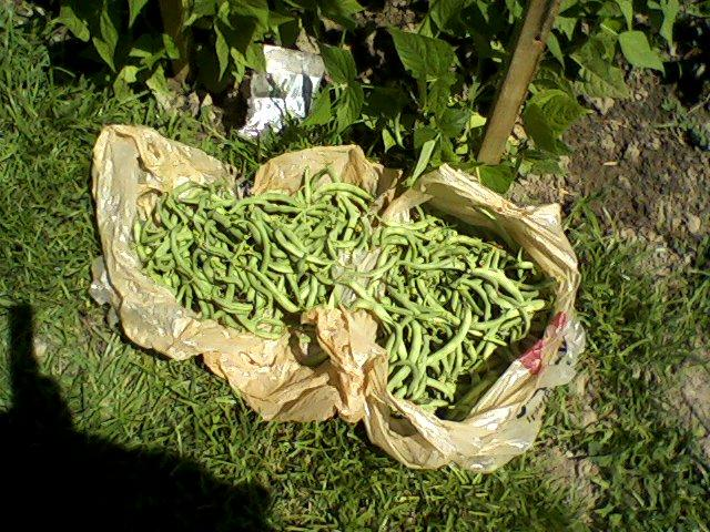 green beans from our garden!
