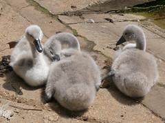 p1190828 (generalising) Tags: swan cygnet chick swans chicks cygnets muteswan muteswans