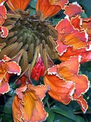 African Tulip Tree Blossom Cluster (PaulinSF) Tags: flowers trees orange tree african blossoms exotic tulip tropical bloom tropic keywest botany spathodeacampanulata africantuliptree
