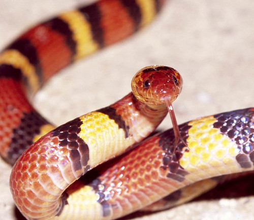 Scarlet Kingsnake  -- north Florida by TomSpinker