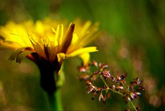 Most common flower...... (Nicolas Valentin) Tags: light flower colour green yellow scotland weed mygarden naturesfinest aplusphoto