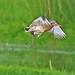 Black Tailed Godwit in flight