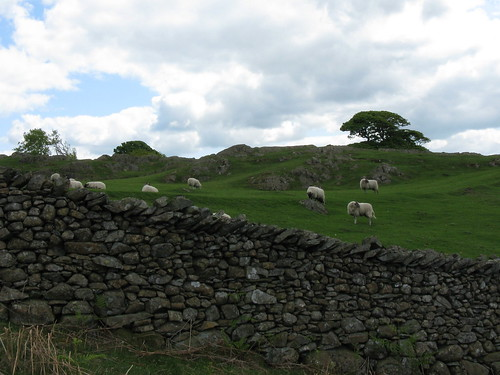 sheep south of coniston