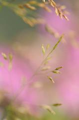 Grass (AlexEdg) Tags: pink summer macro grass iso800 dof bokeh 60mm 2008 homestudio hbw alexedg alledges nikond300