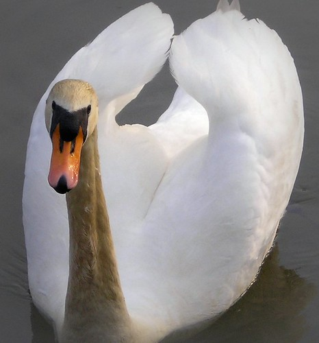 swan by cornish.pixie07, on Flickr