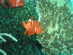 Clownfish (John & Pam Owens) Tags: fish nature ilovenature underwater philippines scuba diving clownfish scubadiving mindanao underwaterphotos divingphilippines 5photosaday underwaterpicturegallery philippineislescom mindanaoisland mindanaobuisnesscommunity