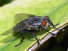 Moscardon insecto