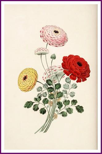 010-El Ranunculus