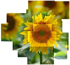 Sunflower construction (dan-ish) Tags: sun france flower detail green yellow petals mix construction mess exposure photos many mashup join danish messy sunflower stick wonky hockney joiner lots mash dma fragment disjointed hallett dan0ish danmorrisadams morrisadams