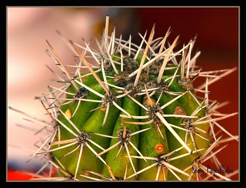 Arubian Cactus! by iTail.