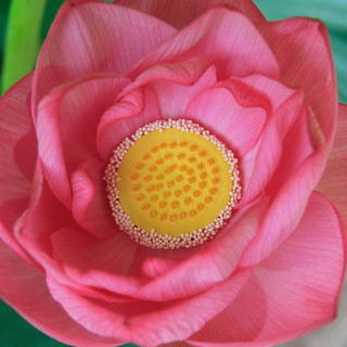 lotus from the overhead