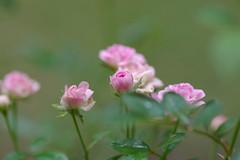 ミニミニサイズのバラ