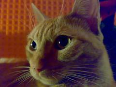 Phoebe (Patataasada) Tags: portrait pet cats animal animals cat feline chat sweet retrato pussy gatos phoebe gato gata felino animales naranja catz mascota katz miau kittie minino catnipaddicts
