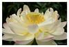 DSCF0685 (Andrea Gazzarrini Photo) Tags: flower fiore aquaticplants nelumbo nelumbium fiorediloto pianteacquatiche nikon50mmf14 estatesummer fiordiloto flowerlotussacredlotus nelumbonuciferaflower andreagazzarrini