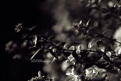 reaching for the sun (quadtones) (simis) Tags: light shadow flower leaves bush bokeh quadtone fromarchives hbwe