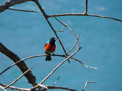 Greater Double-collared Sunbird (Cinnyris afer) (sbcthemuse) Tags: ocean africa blue red green bird nature animal wildlife indian south greater tsitsikamma sunbird cinnyrisafer doublecollared