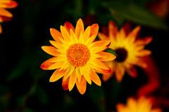 Follow My Lead (modezero) Tags: flowers red orange ontario canada yellow canon bokeh niagara 24105mmf4lisusm xti 400d