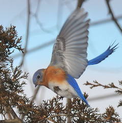 Blue bird! (JRIDLEY1) Tags: blue bird soe naturesfinest zenfolio mywinners abigfave platinumphoto anawesomeshot brightonmichigan theunforgettablepictures theperfectphotographer goldstaraward multimegashot damniwishidtakenthat flickerfresh fantasticwildlife vosplusbellesphotos thewonderfulworldofbirds naturescreations thecelebrationoflife jridley1 jimridley dailynaturetnc09 httpjimridleyzenfoliocom photocontesttnc10 lifetnc10 jimridleyphotography photocontesttnc11 photocontesttnc12