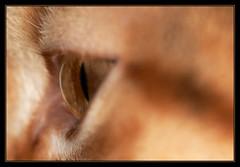 Eye (Kelvin_) Tags: eye cat side eos30d sigma105ex 15challengeswinner pfogold