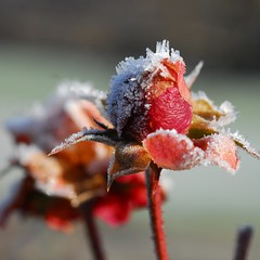 Frozen Red (kubse) Tags: winter red plant flower rose frozen leaf soe theunforgettablepictures