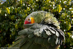 Cocorro (chαblet) Tags: verde méxico aves noid perico amazonaautumnalis α100 chablet