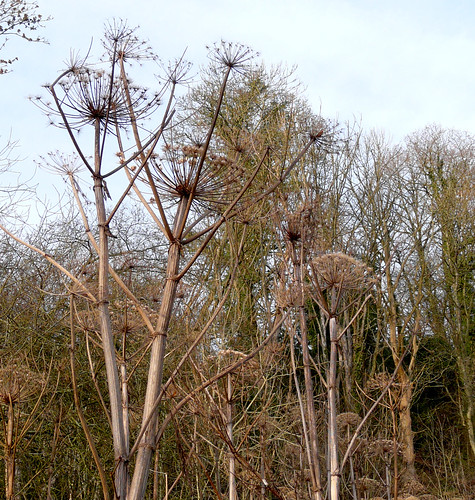 Giant hogweed forest 23Dec08