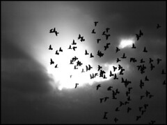 Flug zum  Licht. (sulamith.sallmann) Tags: light bw bird birds animal fauna deutschland licht fly pigeon sw vögel doves tier vogel fliegen tauben animalisch lebewesen berlinpankow vogelschwarm tierisch sulamithsallmann pa0