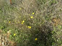 dandelions fournes hania chania