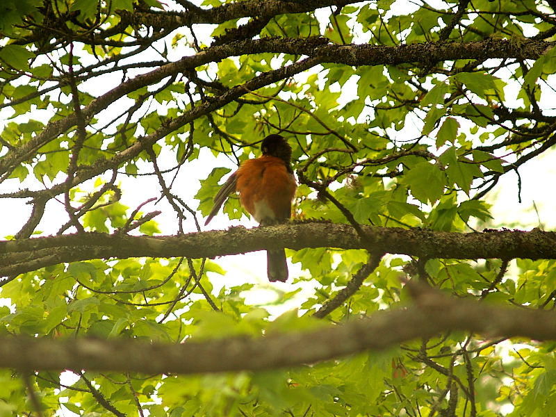 robin fluffing